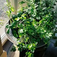 Slappe kruidenplantjes? Dit werkt!